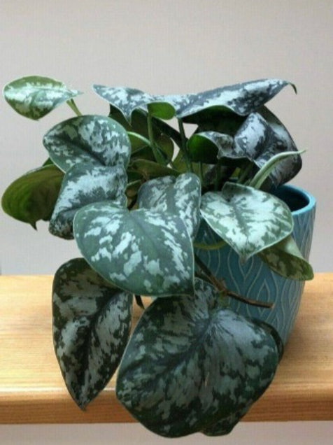 Pothos Exotica Rooted Cutting