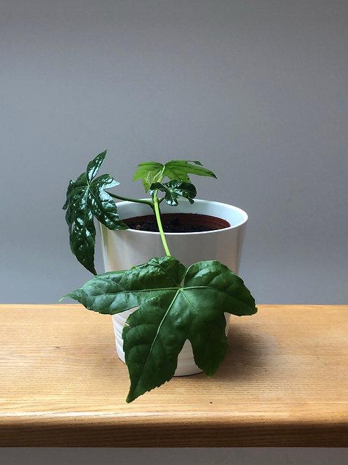 Japanese paper plant / Fatsia Japonica