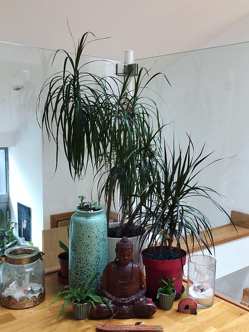 Dragon Tree - Rooted cutting