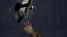 EAGLE CONDOR PROPHESY coming true