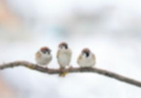 three funny birds Sparrow sitting on a b