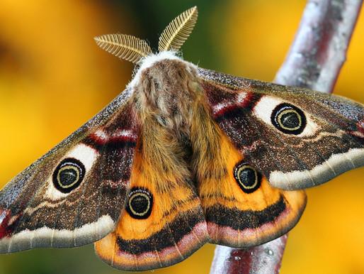 Le papillon de nuit va éclairer votre lanterne !