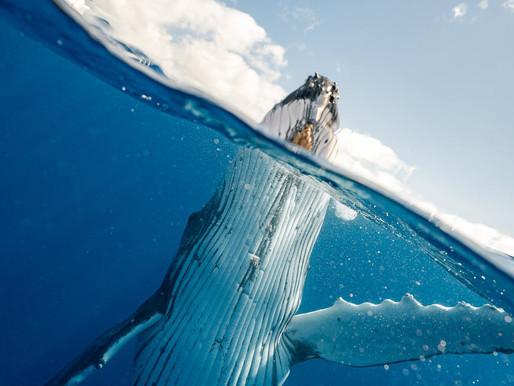 La baleine à bosse, imposante et emblématique