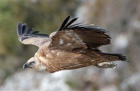 vautour biomimétisme