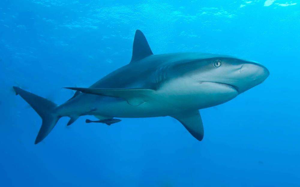 Sharkskin Biomimétisme