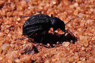Onymacris_unguicularis_in_Namib_Desert.j
