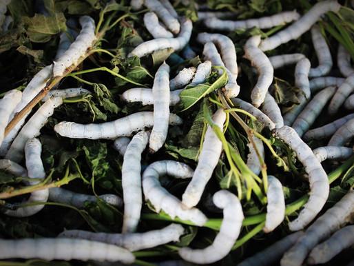 Le ver à soie a plus d'un fil dans son sac