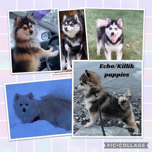 Echo_Killik Puppies.JPG