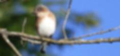 Tree Swallow (c) Joanna Eckles