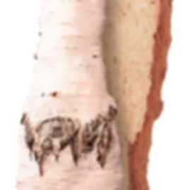 CurlyBirch_1_trunk.jpg