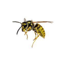 WASP PNG.png