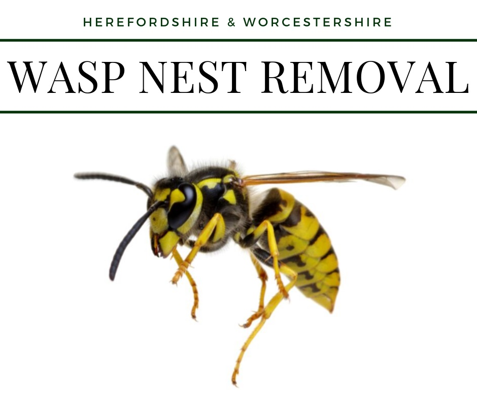 Wasp nest removal hereford 2019