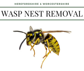 Wasp nest removal hereford 2019.jpg