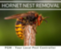 Asian Hornet Nest Removal Hereford _ Pes