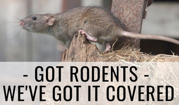 Rat Removal Extermination Hereford Comme