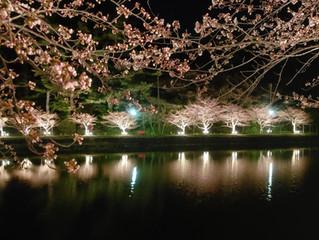夜の勢至公園-桜-