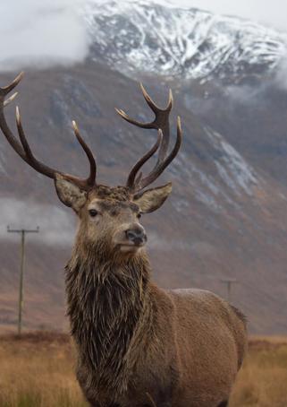 Scottish Wildlife | Glencoe, Scotland - DEC 2019