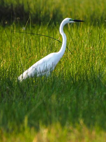 Heron splendour in the grass