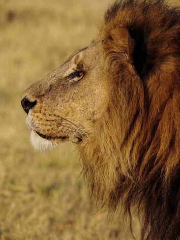 Adult lion