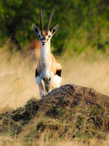 Oryx pase
