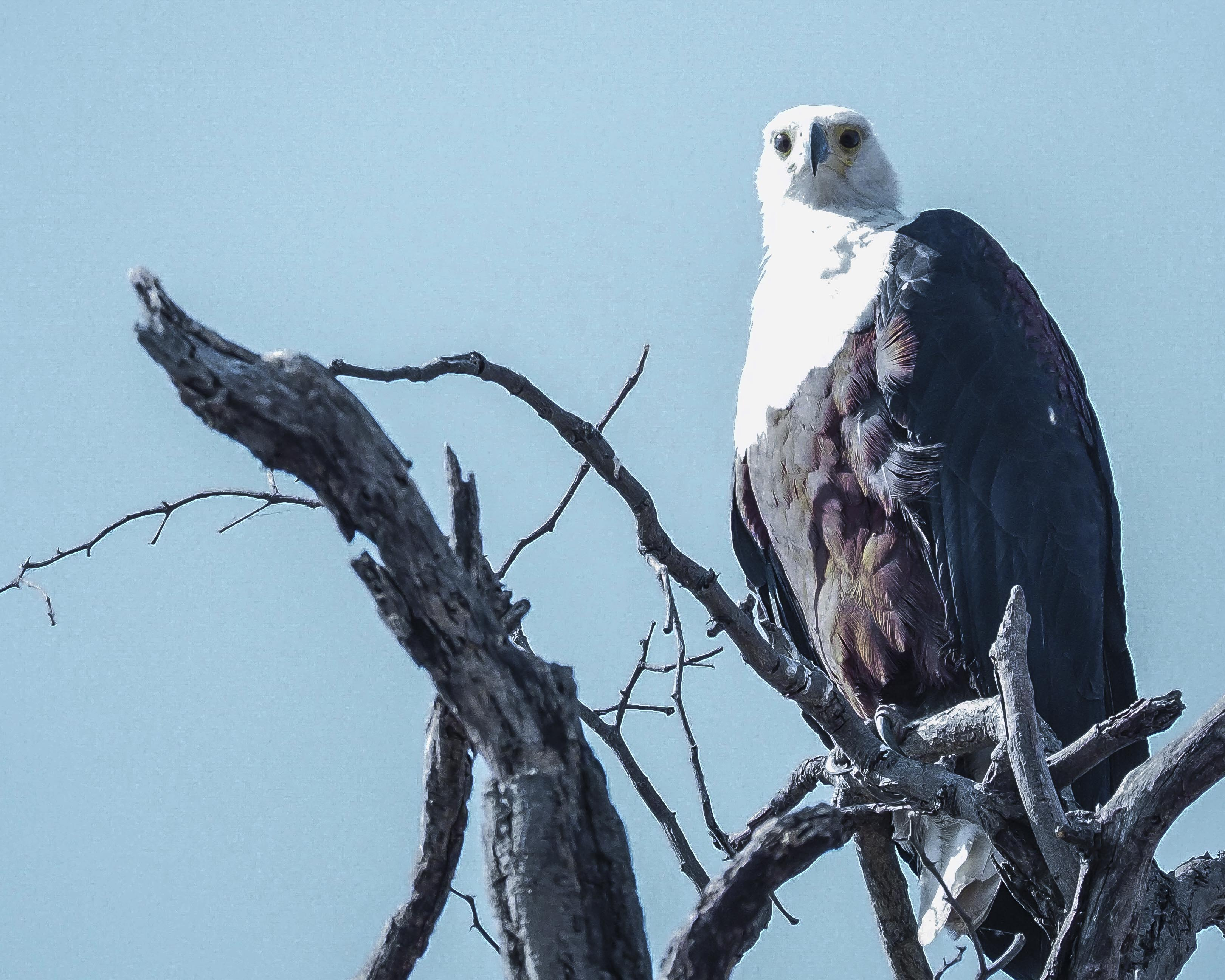 Blue crested eagle