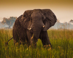 elephant in marshland