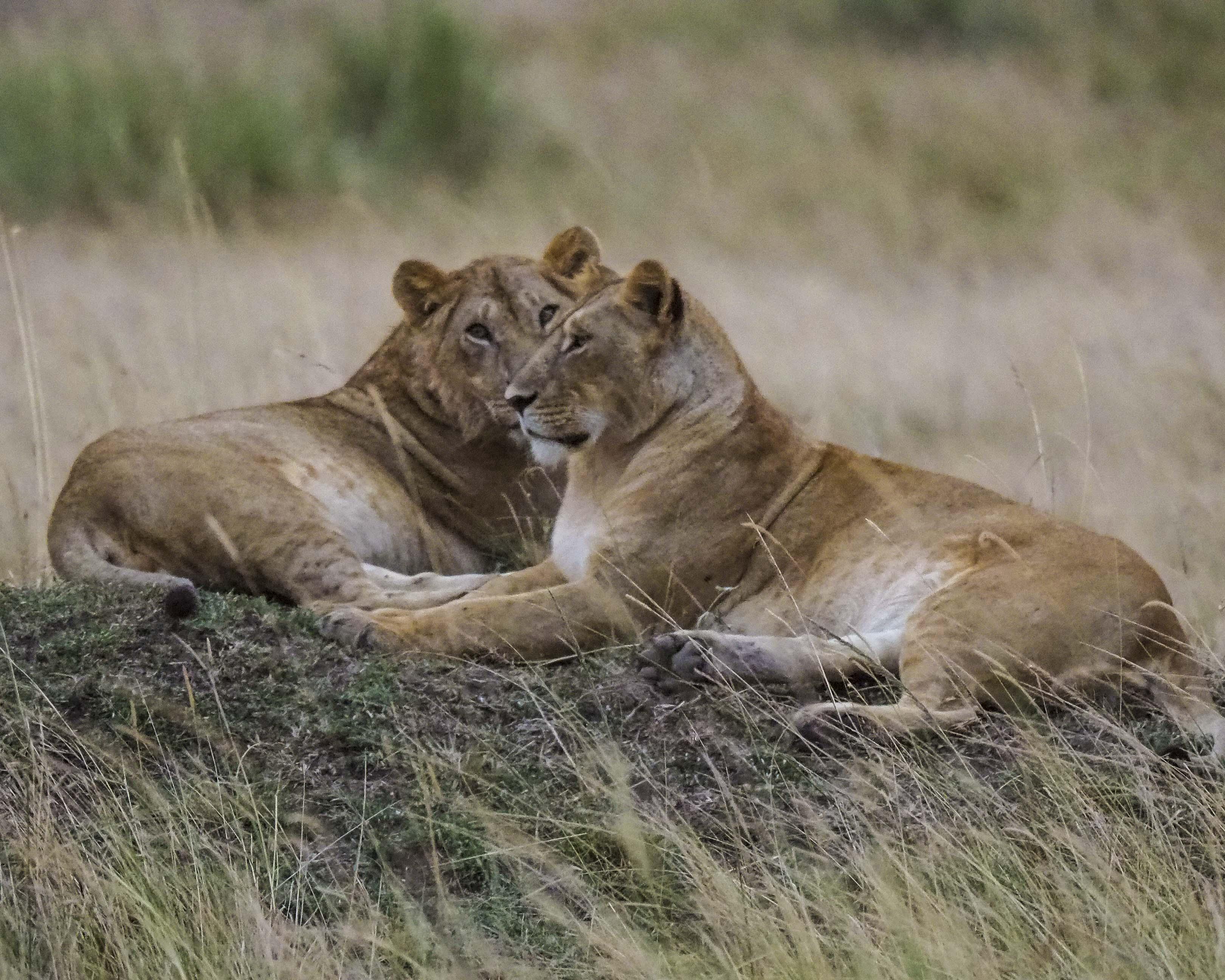 lions sitting