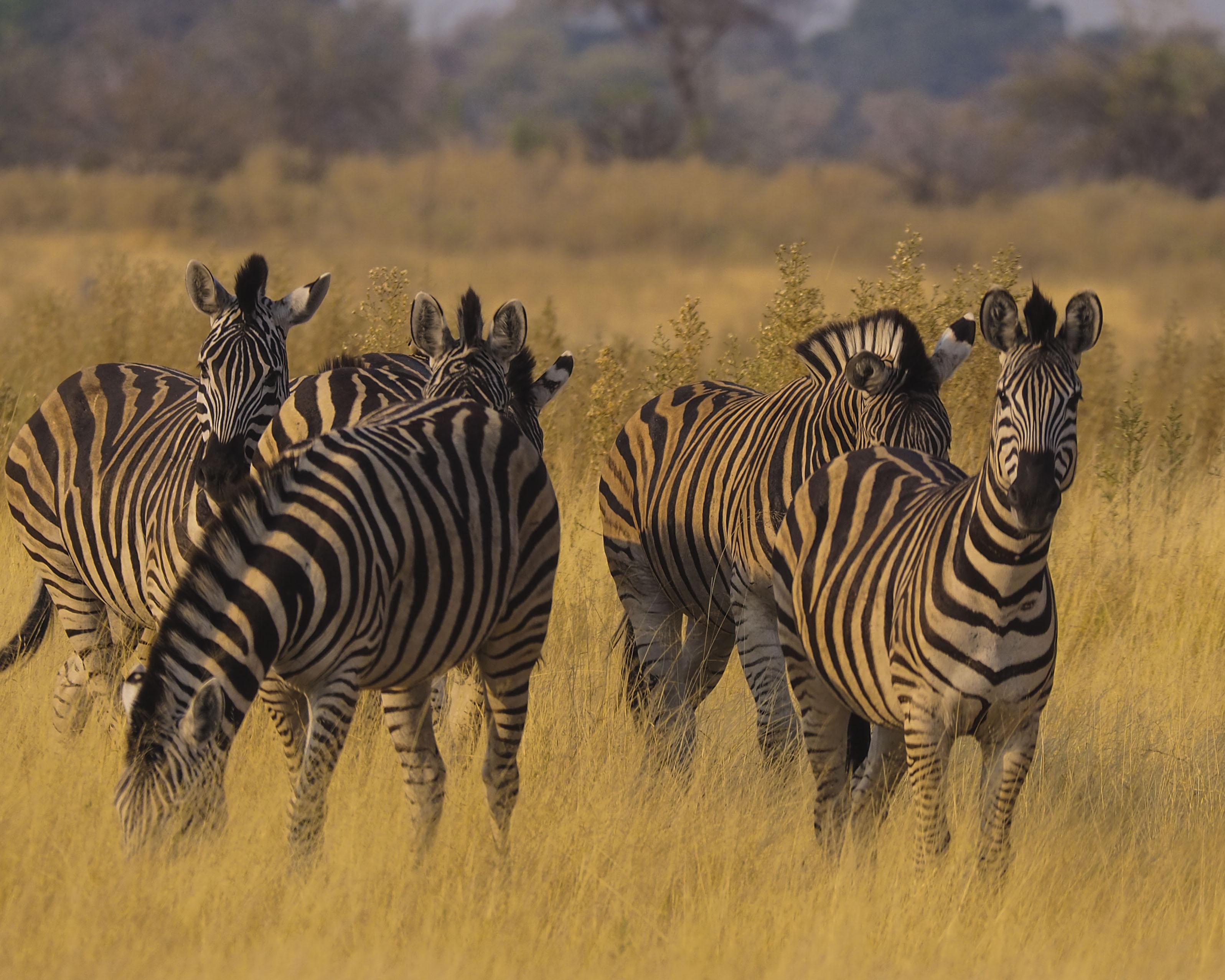 zebras in tall grass