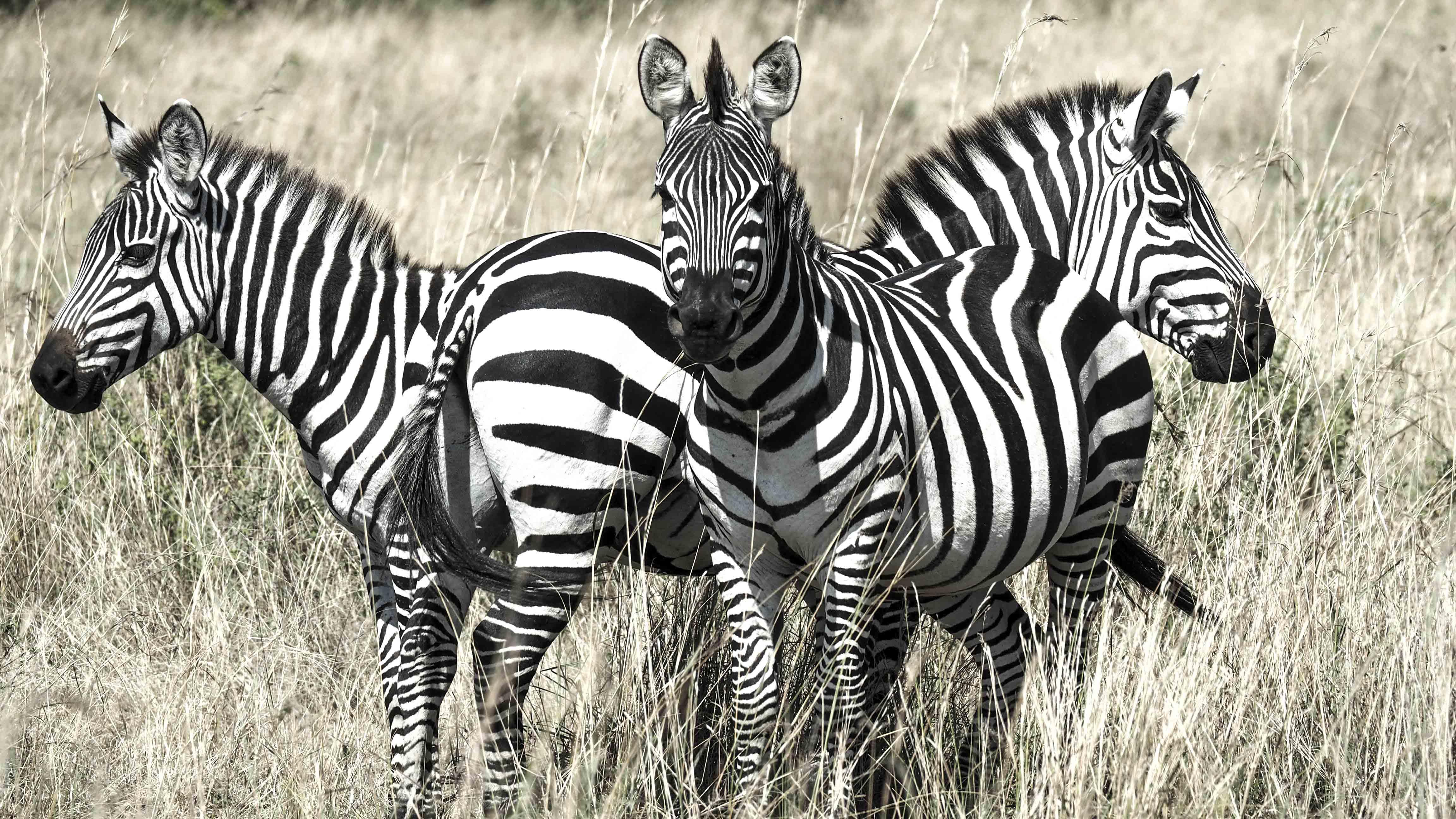 Zebras on guard