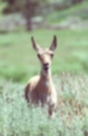 Pronghorn Fawn Smiling.jpg