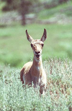 Pronghorn Fawn Smiling.jpg