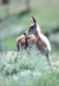 Pronghorn Eyes Print Borderless 3 Resize