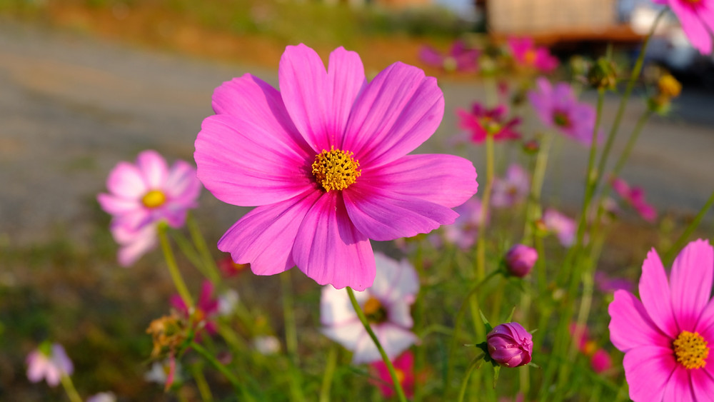 Cosmos flowers on the side of the road are a message to runners, according to Bruce Fordyce, legendary Comrades Marathon champion.