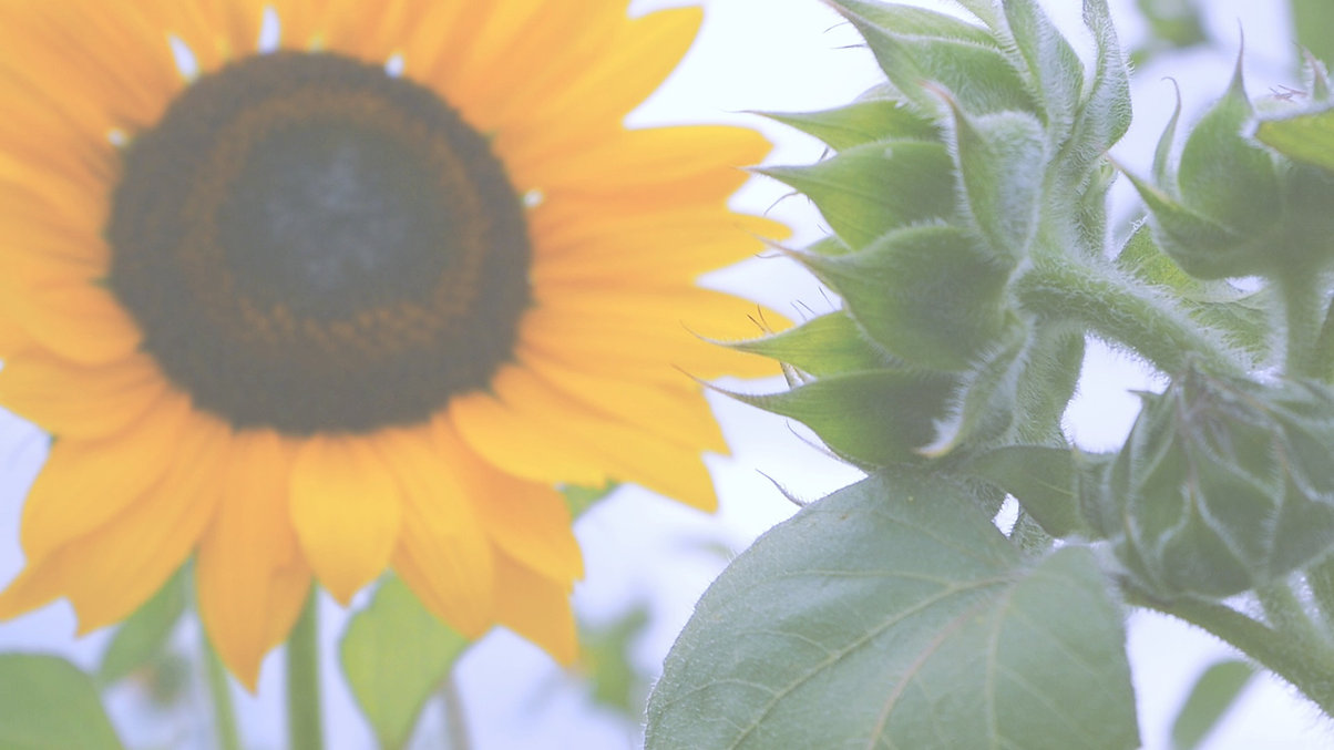 sunflower%2520still_edited_edited.jpg