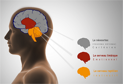 3 cervelli.png