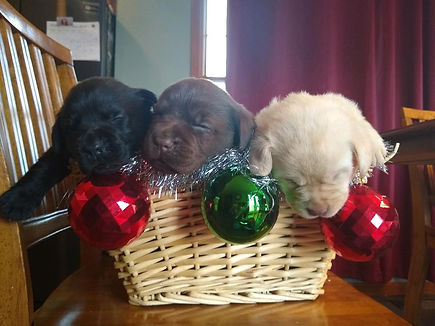 Christmas puppies 2019-1.jpg