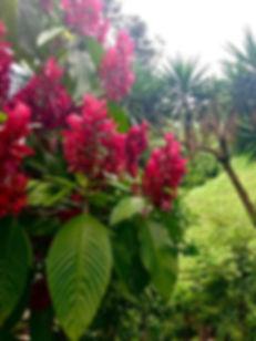 Flores DE Guate.jpg