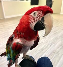 Ben the Macaw