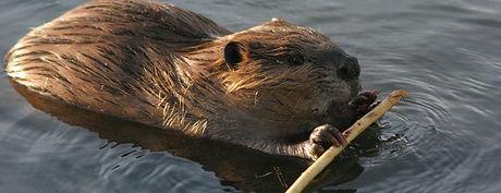 Beaver Banner.jpg