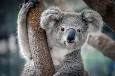 Koala Banner.jpg