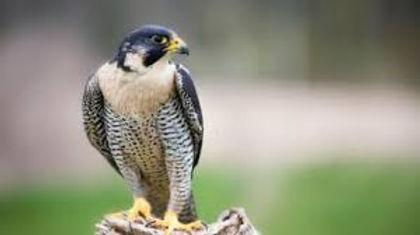 Falcon Banner.jpg