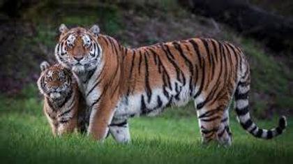 Tiger Banner.jpg