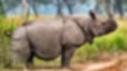 Javan Rhinoceros.png