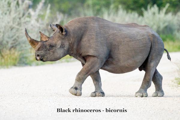 Diceros bicornis - 2 horn rhino.png