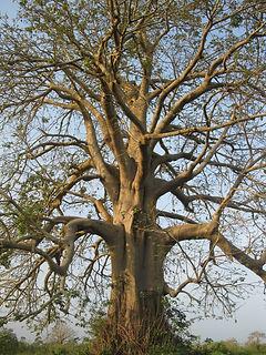 bel arbre du togo