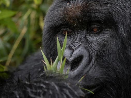 Singita Kwitonda Lodge - Gorilla 6 - B39