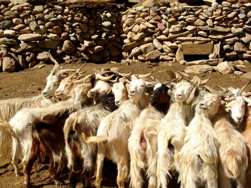 goats-940x600.jpg