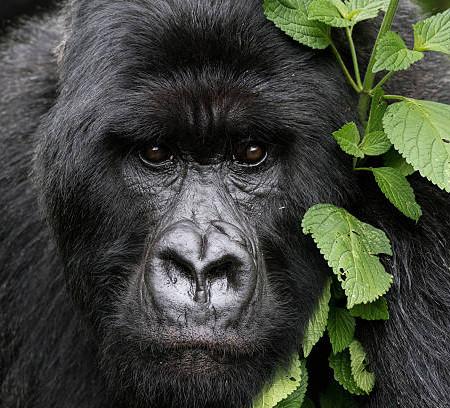 Gorillas im Nebel, Ruanda