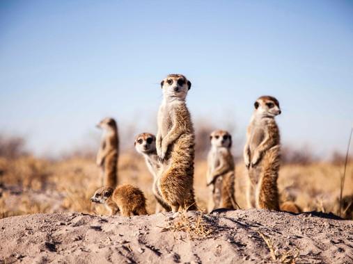 Meerkat Experience 2.jpg