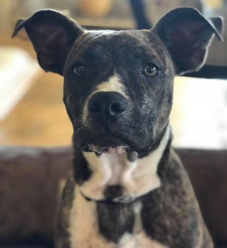 Pit Bull Mixed Rescue